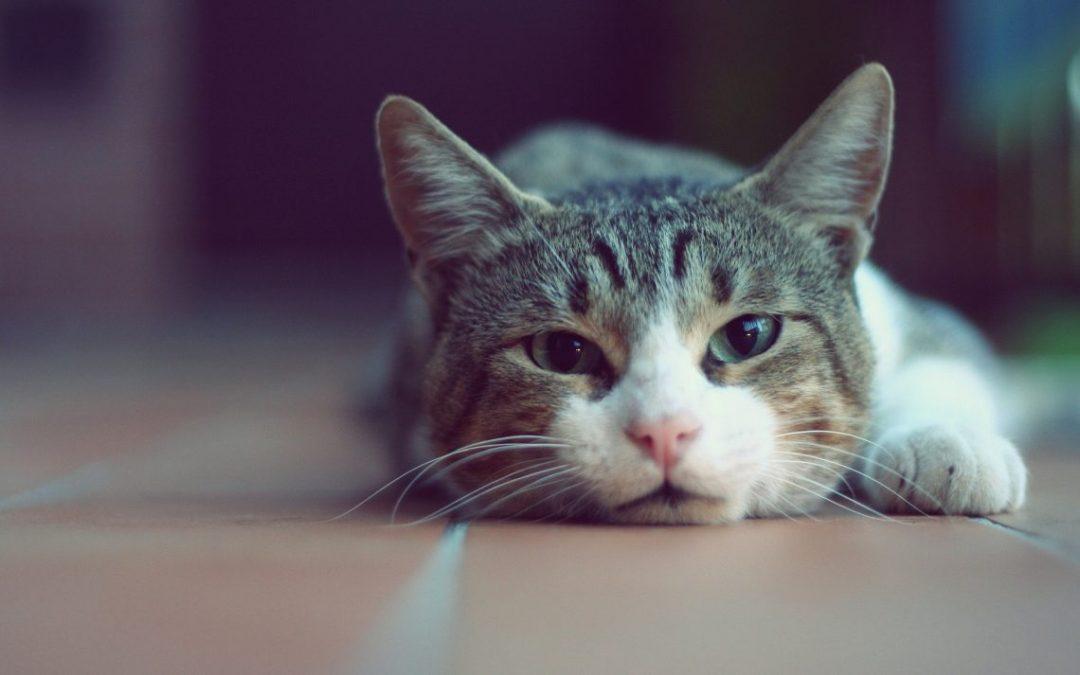 gatto prigro